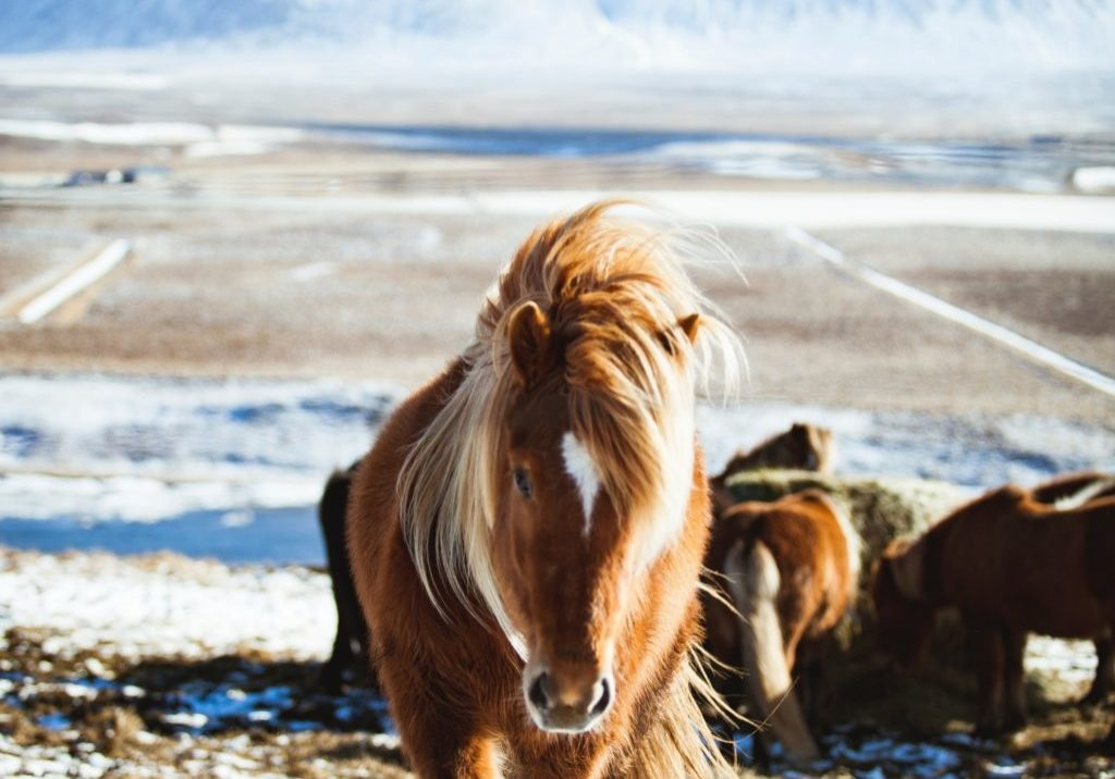 horse with long mane trotting towards us with snow in the background