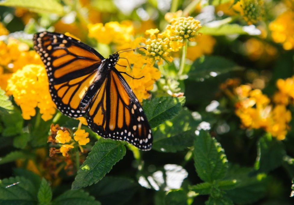 orange and black butterfly on yellow flowers