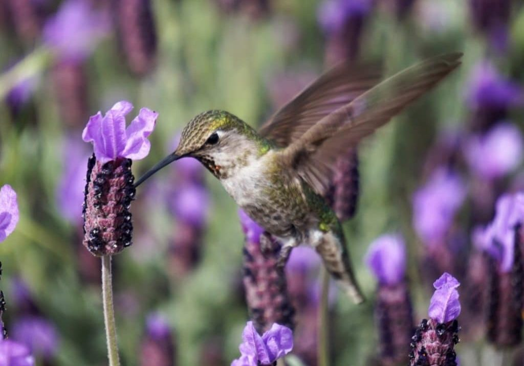 tapping for injuries purple hummingbird in flowers