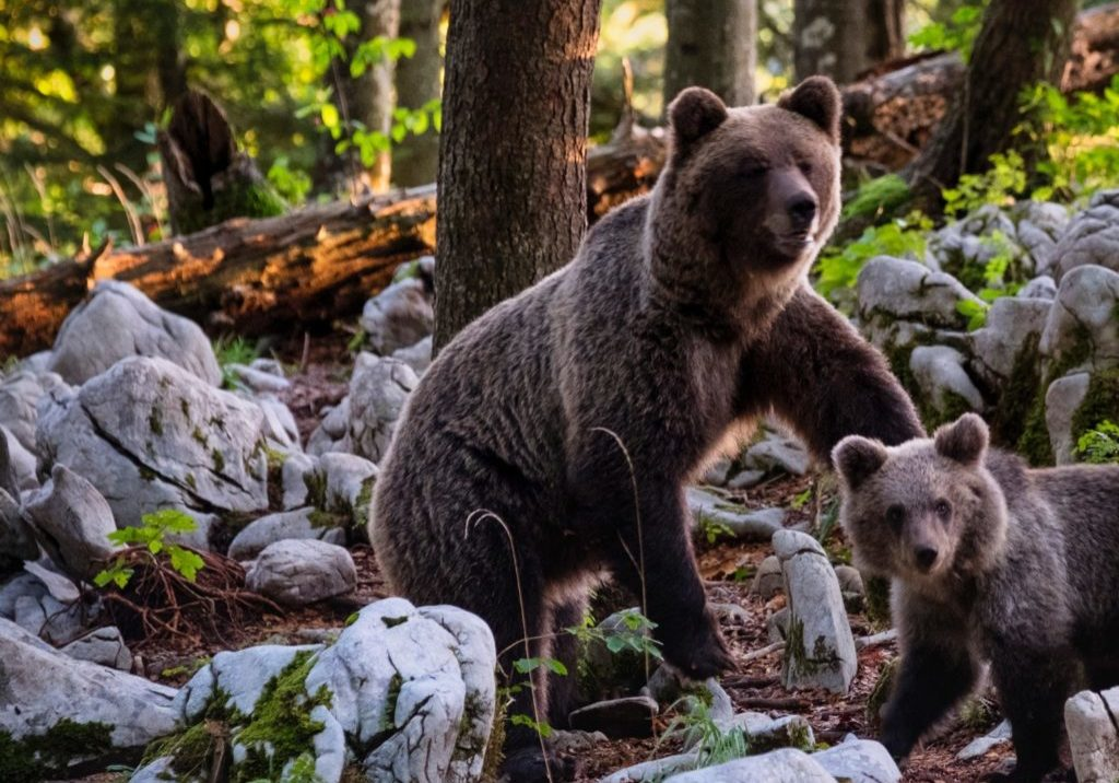 mama bear and her cub on rocks
